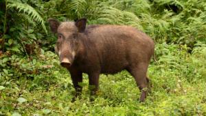 Wild Boar 4k