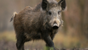 Wild Boar Background