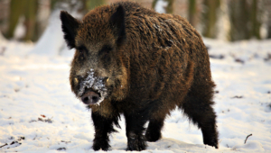 Wild Boar Hd Background