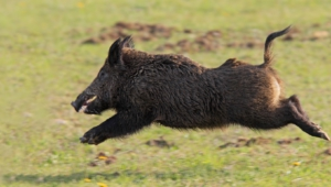 Wild Boar Hd Wallpaper