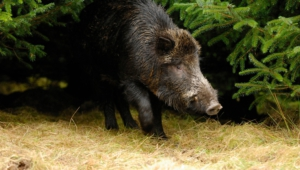 Wild Boar High Definition Wallpapers