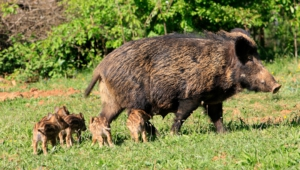 Wild Boar Pictures