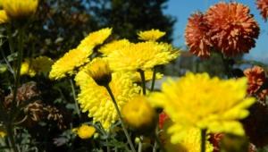 Autumn Flower Widescreen