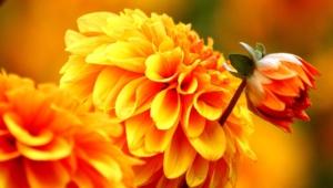 Autumn Flower For Desktop