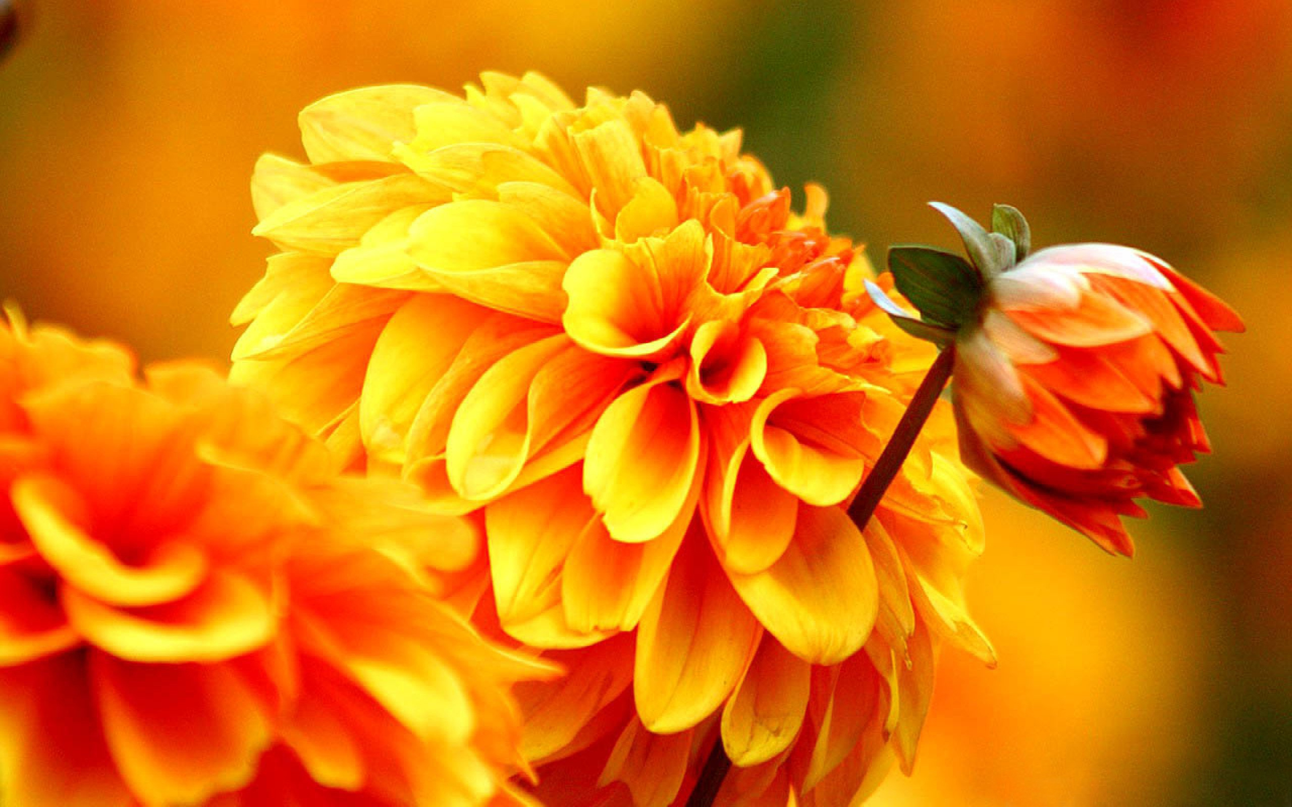 Autumn Flower Wallpapers s Backgrounds
