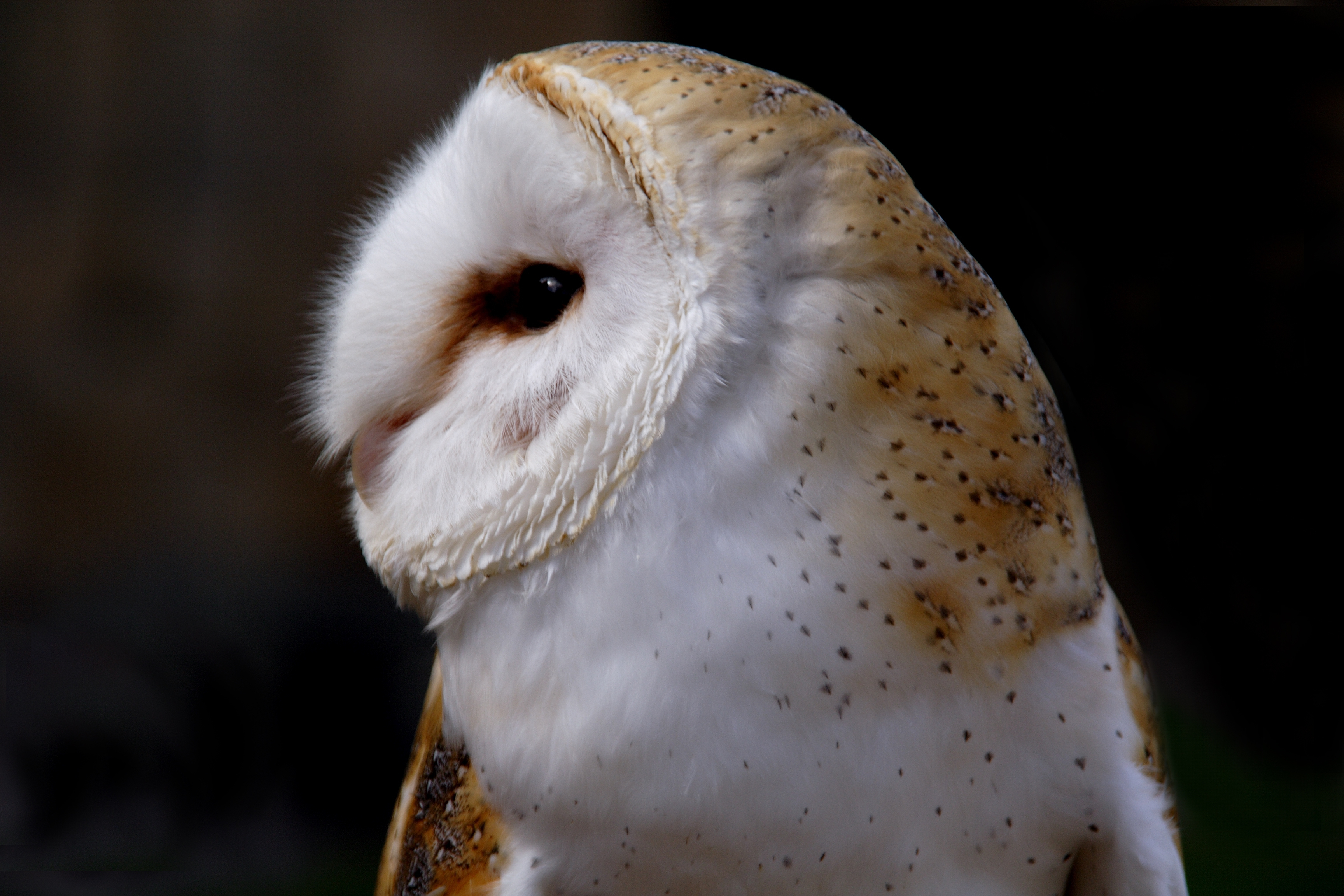 Barn owl wallpapers images photos pictures backgrounds for Food bar owl