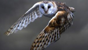 Barn Owl Hd Desktop