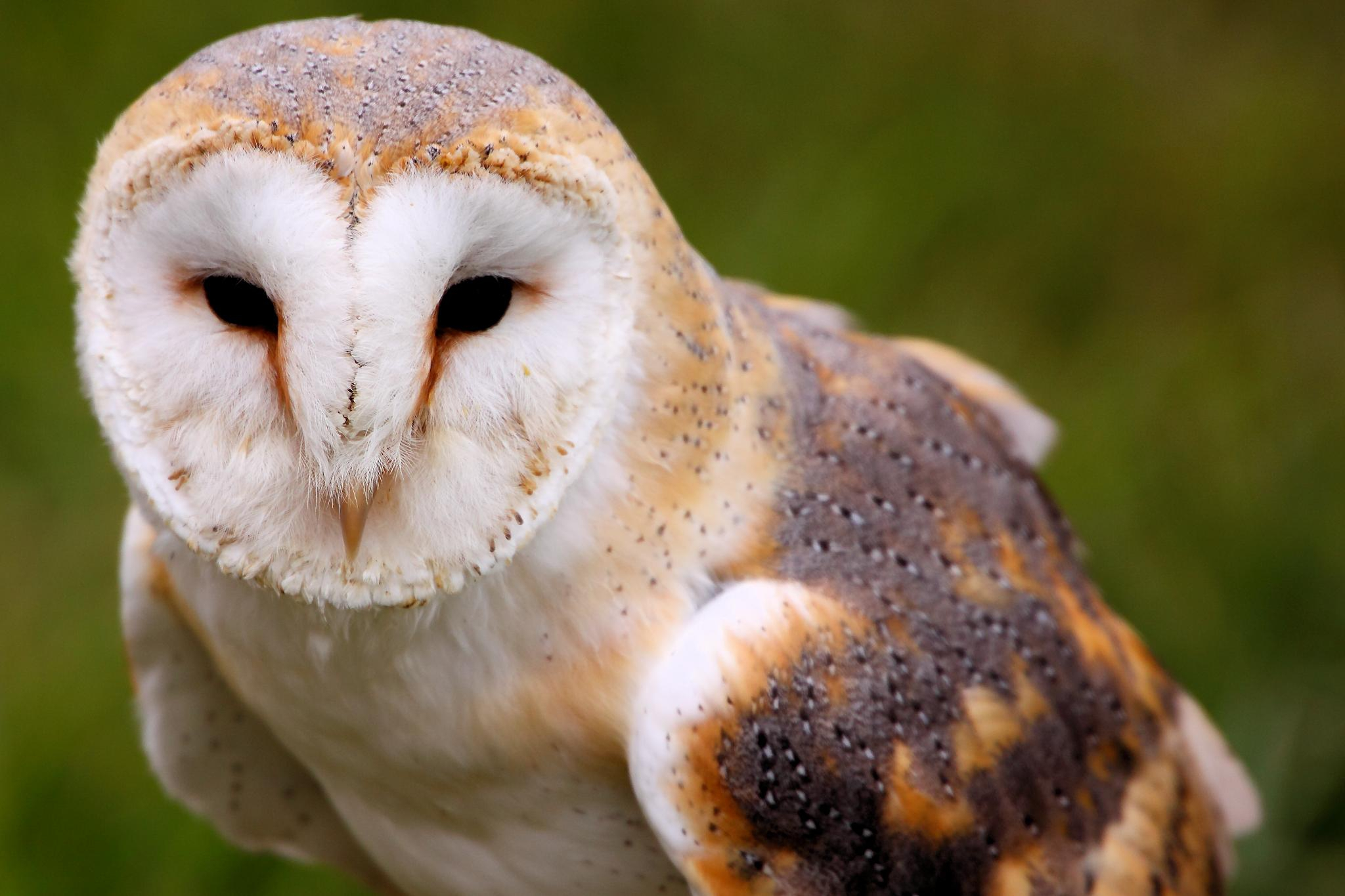 Barn Owl Wallpapers Images Photos Pictures Backgrounds