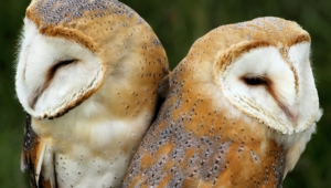Barn Owl Wallpapers
