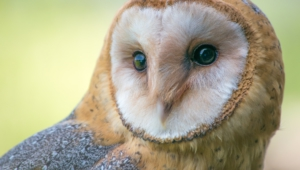 Barn Owl Wallpapers Hd