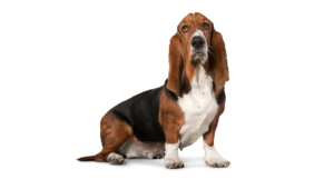 Basset Hound Background
