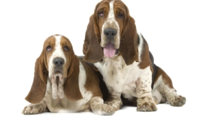 Basset Hound Hd Wallpaper