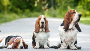 Basset Hound High Quality Wallpapers