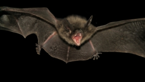 Bat Images