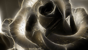 Black Rose Hd Desktop