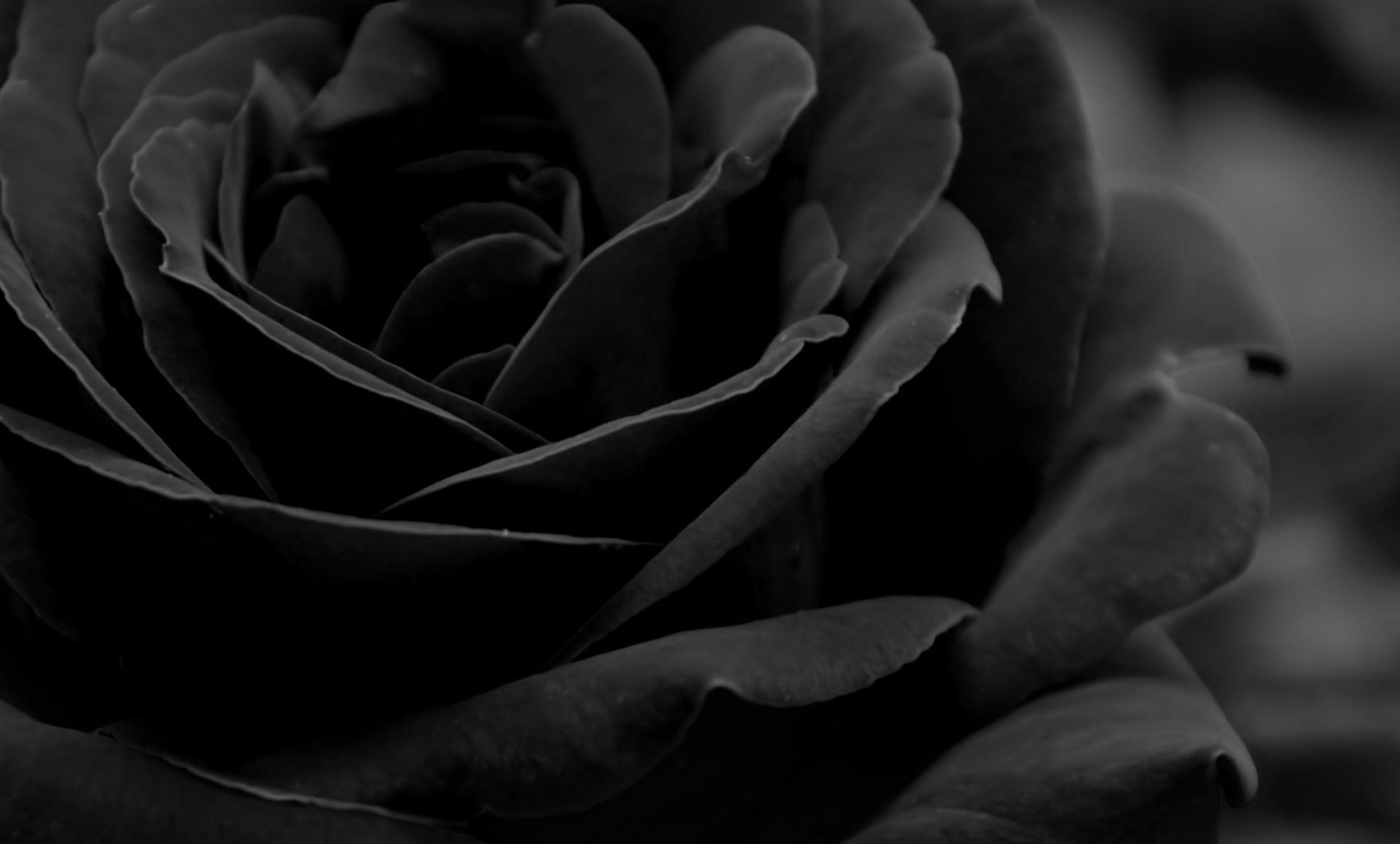 Black Rose Wallpaper