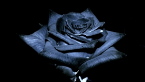 Black Rose Wallpapers Hd