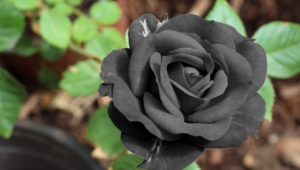 Black Rose Widescreen