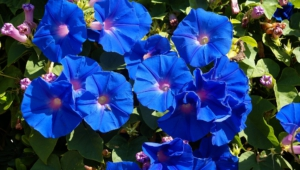 Blue Flowers Hd Desktop