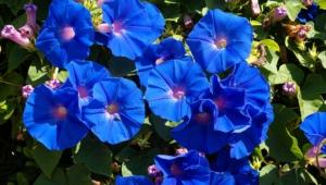Blue Flowers Hd Desktop