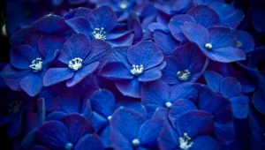 Blue Flowers Hd Wallpaper