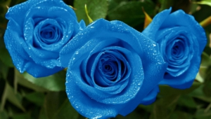 Blue Flowers Photos