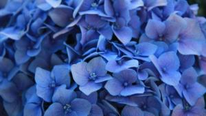 Blue Flowers Wallpapers Hd