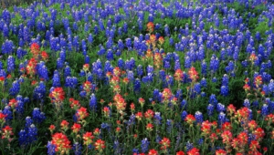 Bluebonnet Hd Background