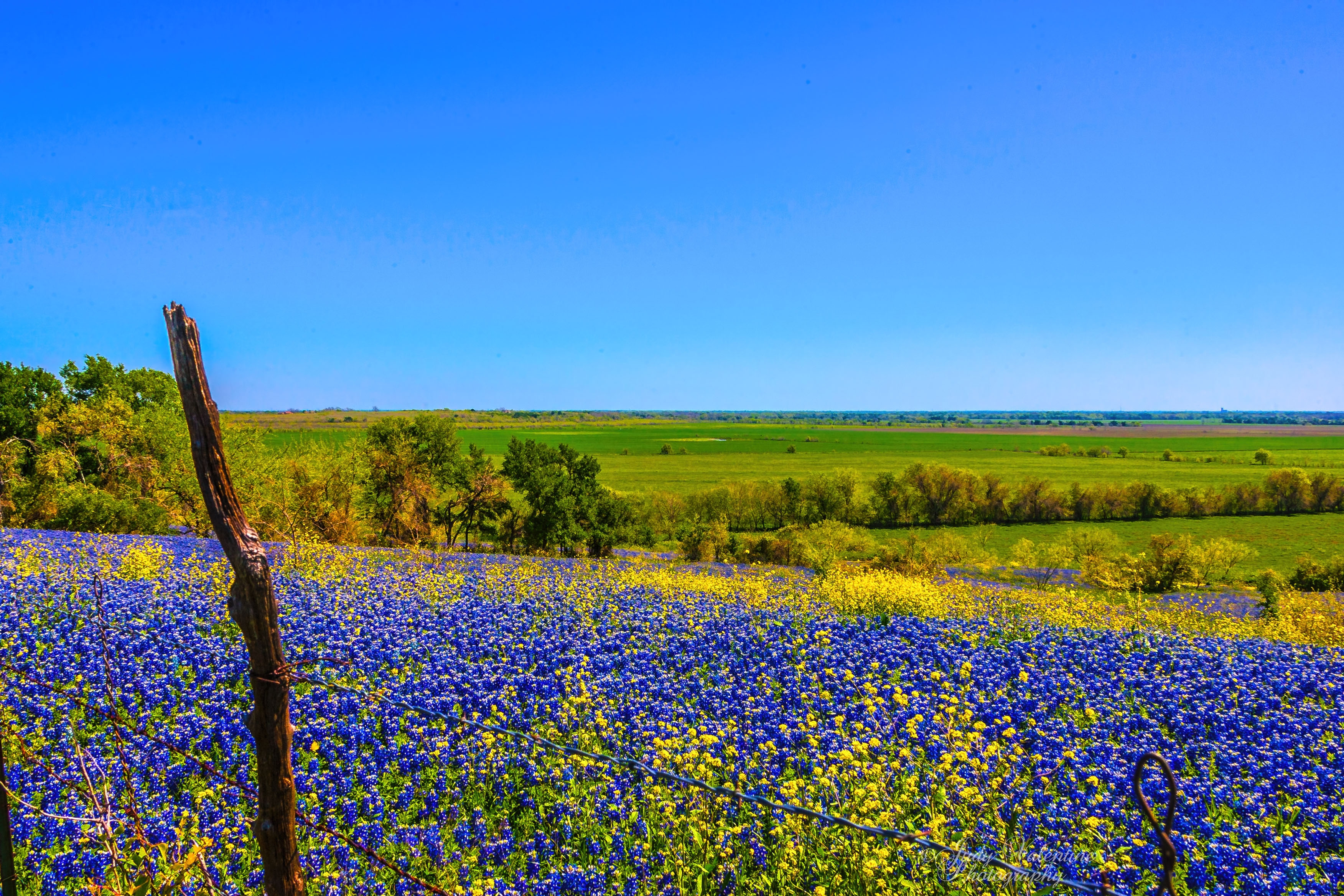 Bluebonnet Hd