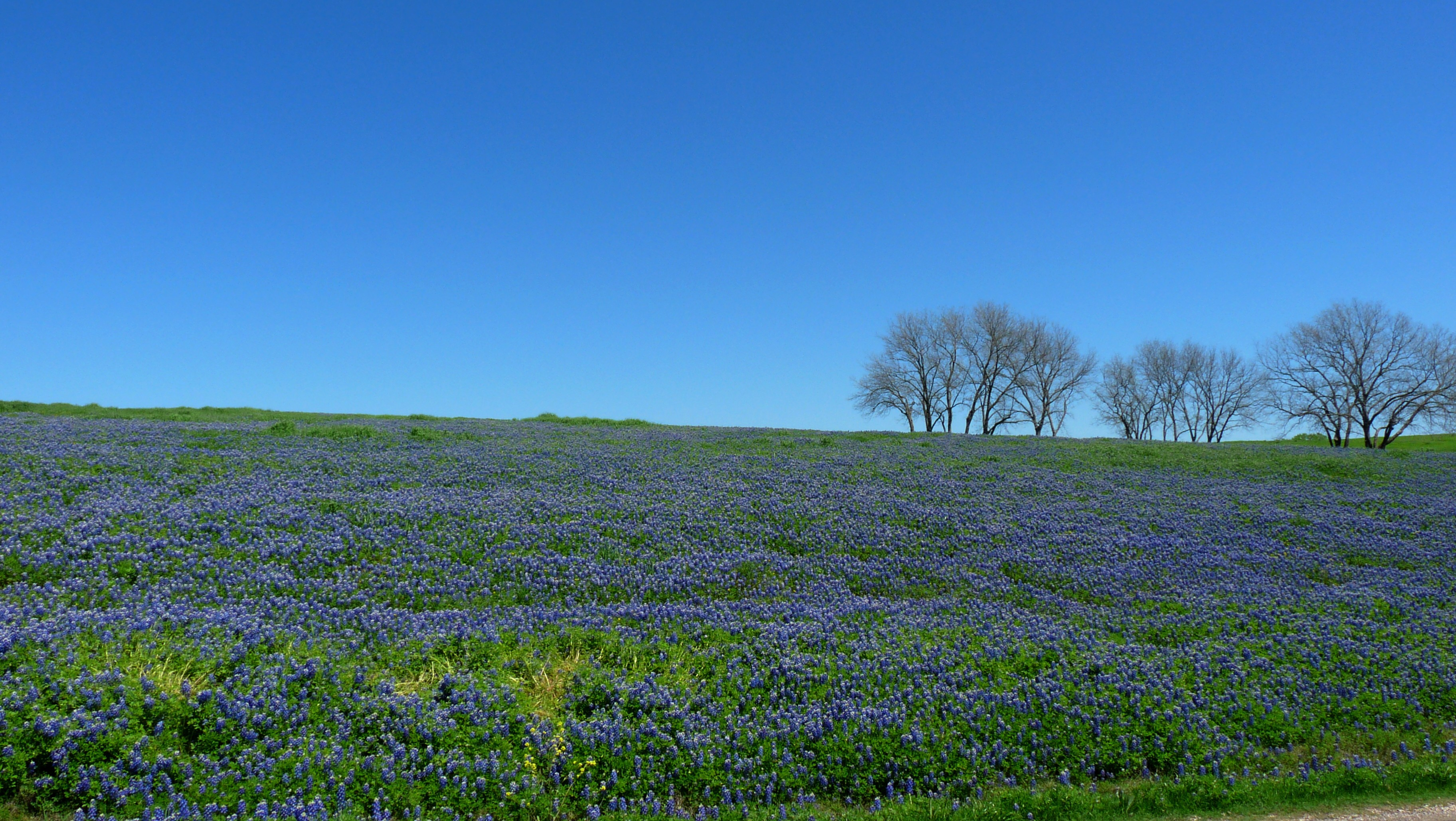 Bluebonnet High Quality Wallpapers