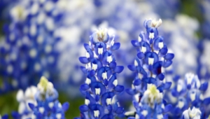 Bluebonnet Pictures