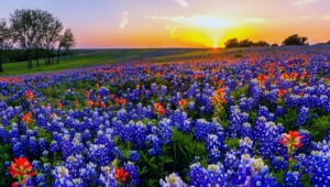 Bluebonnet Wallpapers Hd