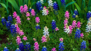Bluebonnet For Desktop
