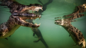 Caiman Photos