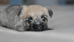 Cairn Terrier Hd Background