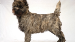 Cairn Terrier High Quality Wallpapers
