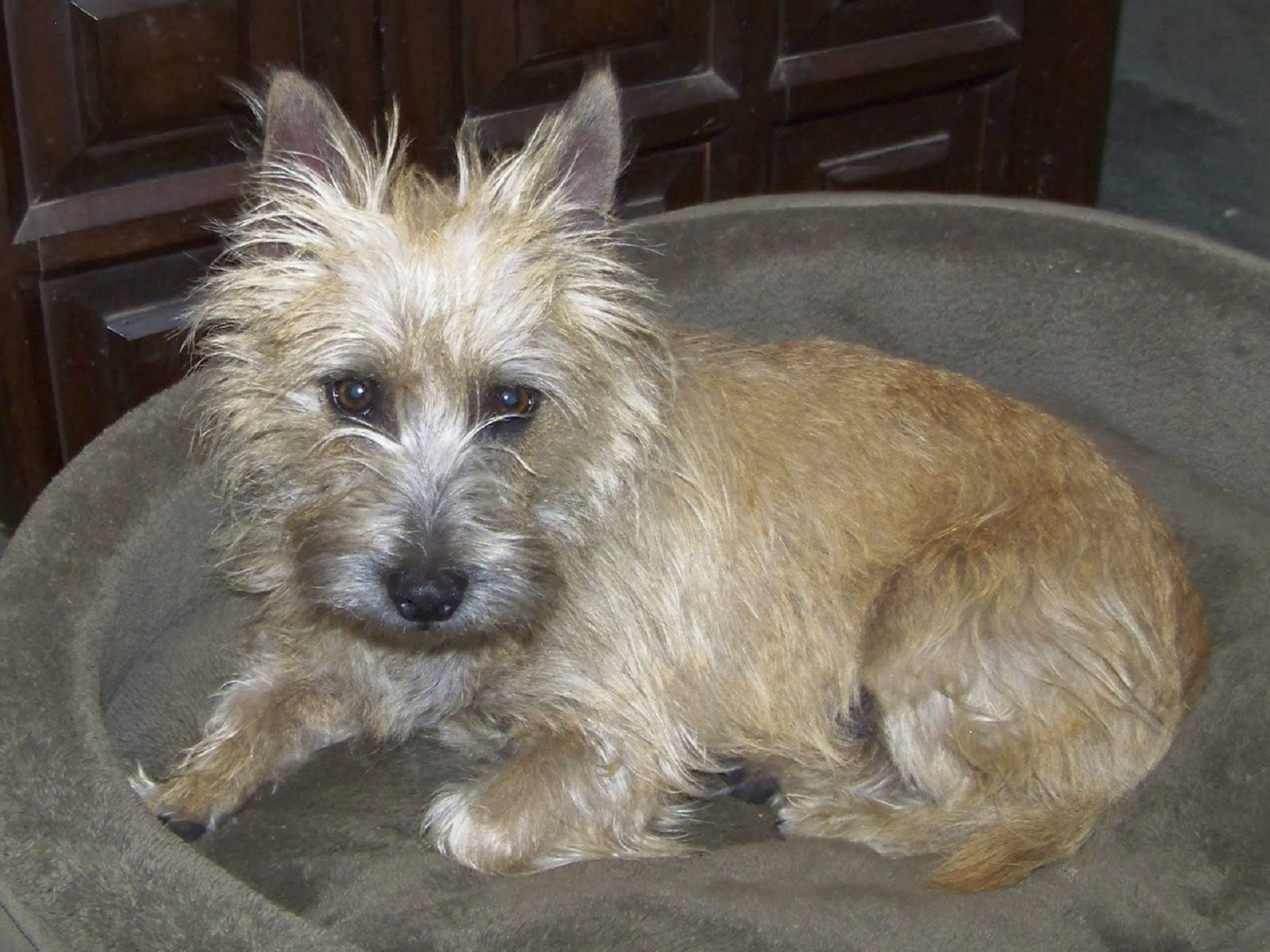 Cairn Terrier Images