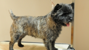 Cairn Terrier Photos