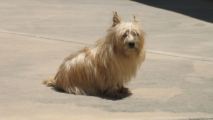 Cairn Terrier Wallpapers