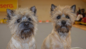 Cairn Terrier Wallpapers Hd