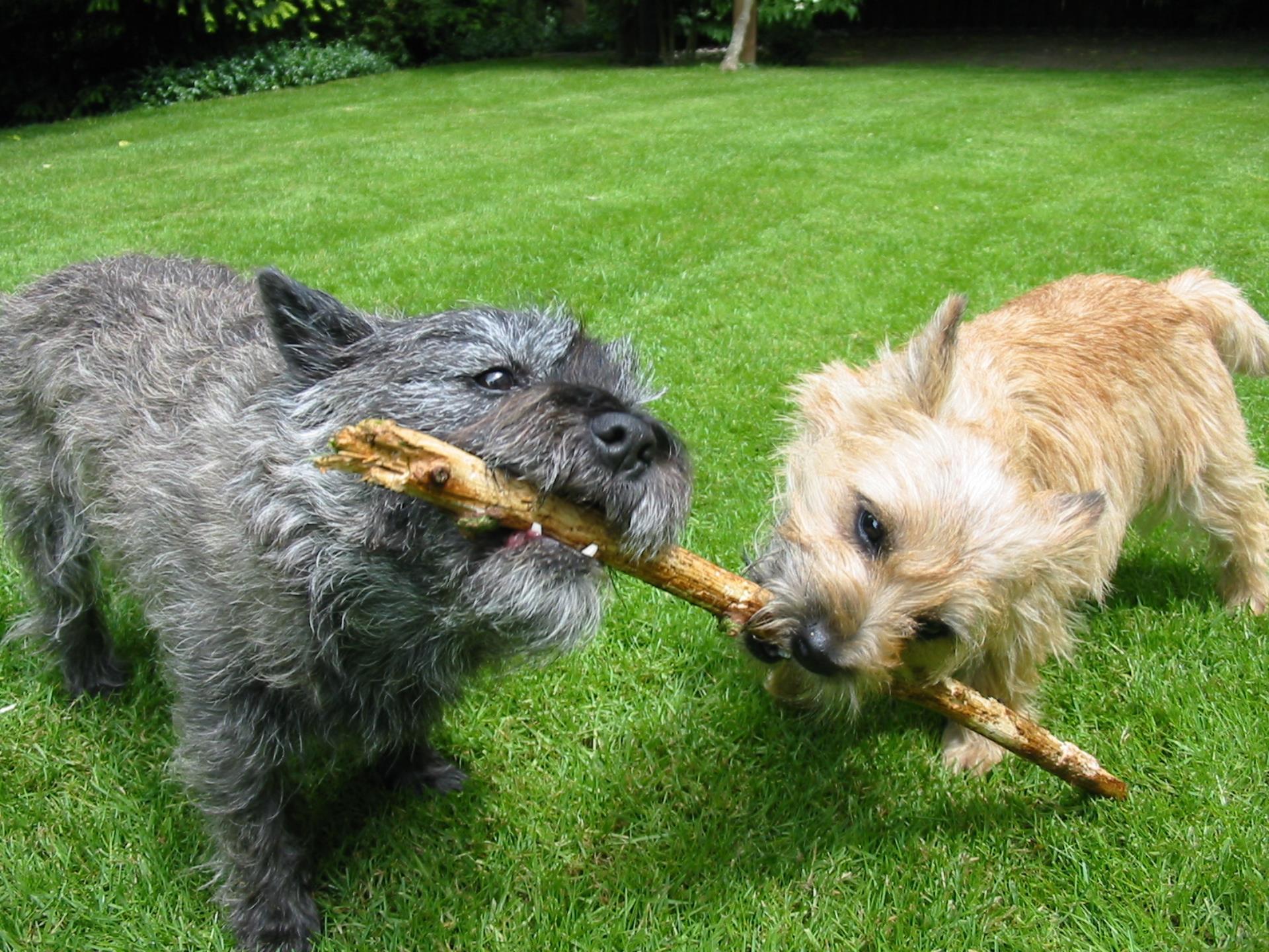 Cairn Terrier Widescreen