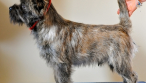 Cairn Terrier For Desktop