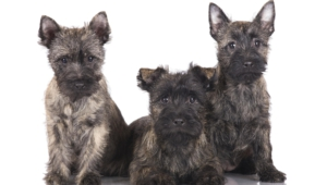 Cairn Terrier Full Hd