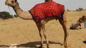 Camel Hd Desktop