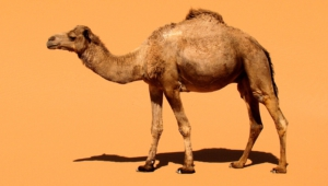 Camel Hd Wallpaper