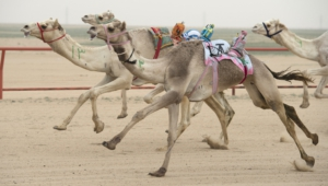 Camel Photos