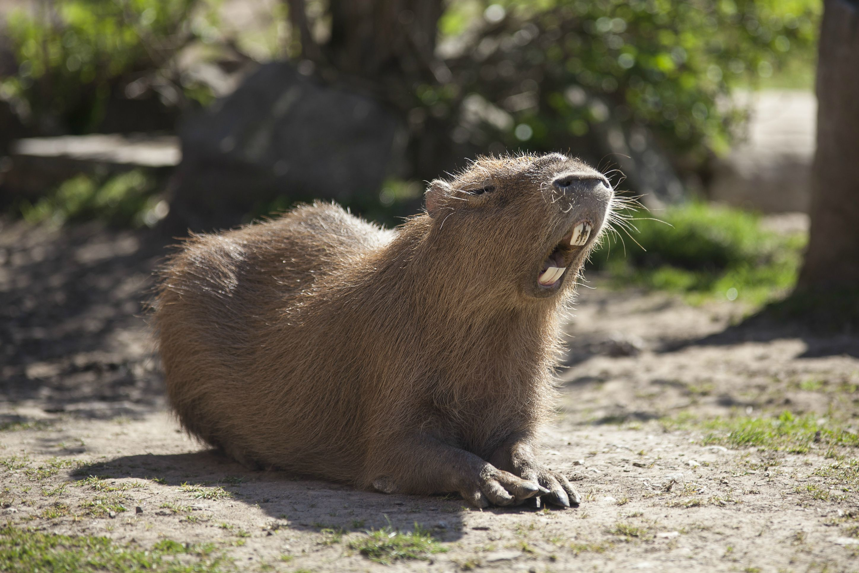 Capybara 4k