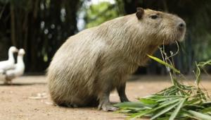 Capybara Hd