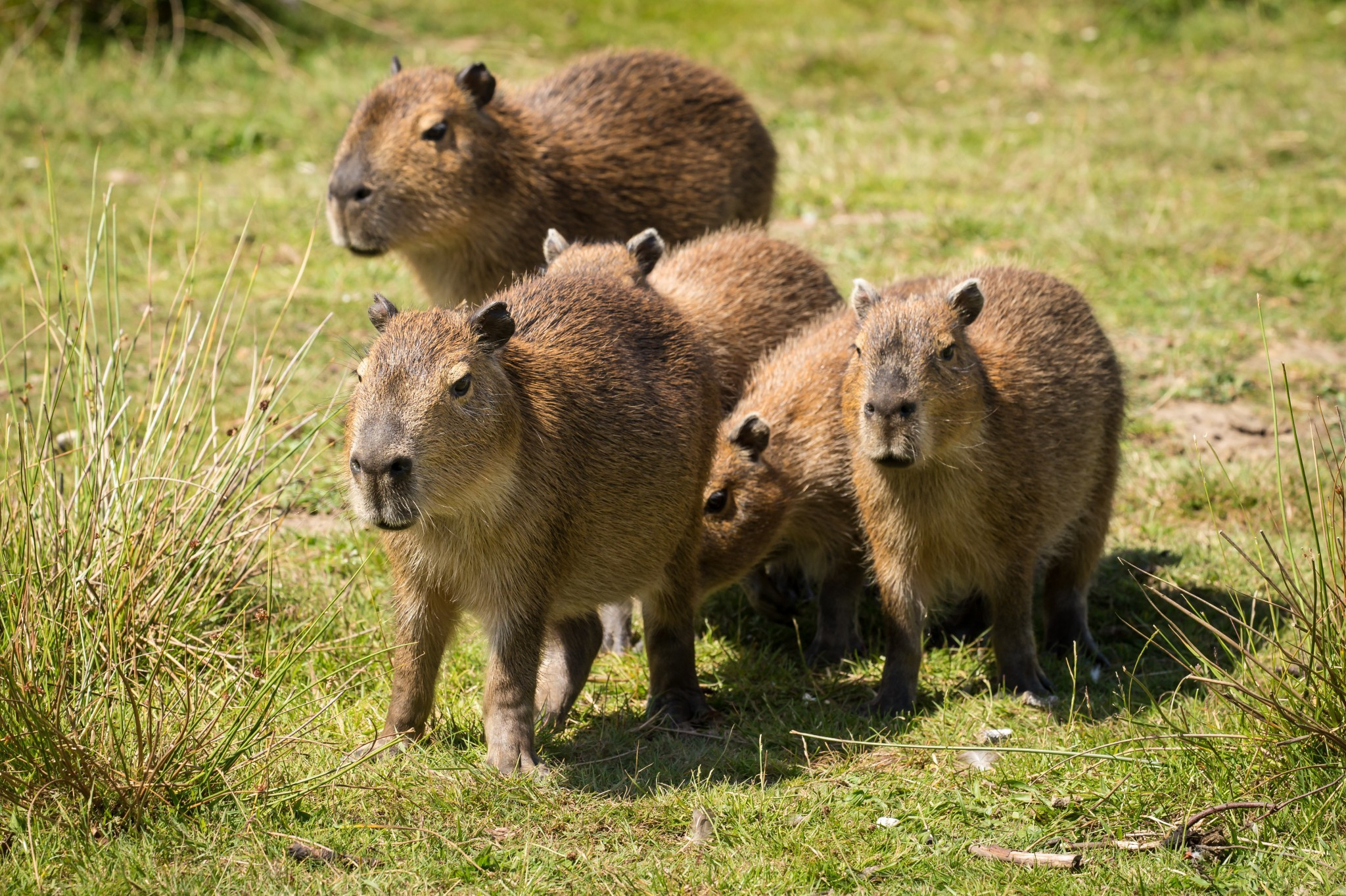 Capybara Hd Background
