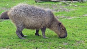 Capybara Hd Desktop